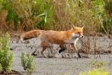 Fox-in-Marshland