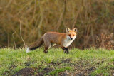Fox-on-bank