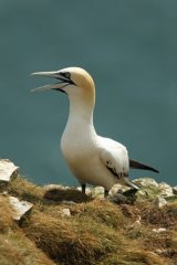Gannet at-Bempton-Cliffs