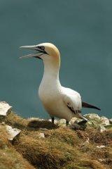Gannet at-Bempton-Cliffs