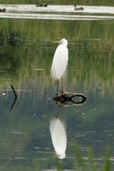 Great-White-Egret-drying