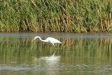 Great-White-Egret-hunting
