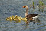 Greylag-Family