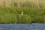 Gt-White-Egret-in-reeds