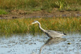 Heron-in-pond