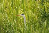 Heron-in-reeds