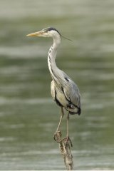 Heron-perched