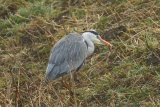Heron-snacking