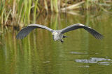 Heron take off