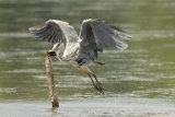 Heron's-takeaway