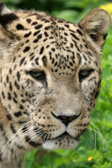Jaguar's stare