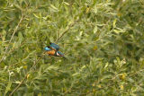 Kingfisher diving from tree