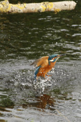 Kingfisher-exit-water