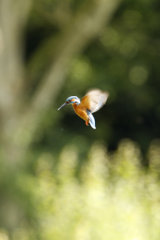 Kingfisher-hovering