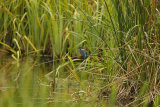 Kingfisher-in-Marsh