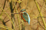 Kingfisher-in-bush