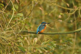 Kingfisher-in-tree