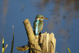 Kingfisher-on-log