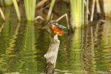 Kingfisher-on-stump