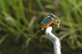 Kingfisher-with-weed