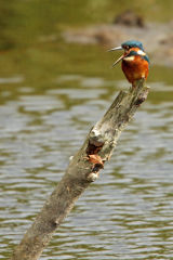 Kingfisher on post