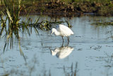 Little-Egret-in-pond