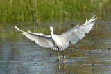 Little-Egret-landing
