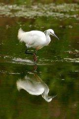 Little-Egret-reflection
