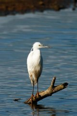 Little-Egret 2