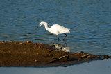 Little-Egret 3