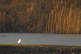 Lonely-Egret