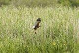 Marsh-Harrier-with-prey