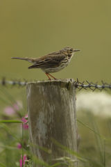 Meadow pipit on post