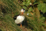 Nest making-Puffin