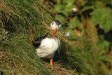 Nest making-Puffin