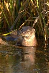 Otter-cub-3