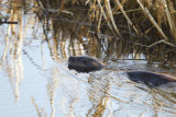 Otter-in-Marsh