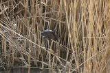 Otter-in-reeds