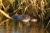 Otter-mother-and-cub-2