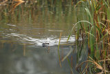 Otter-swimming-in-Marsh