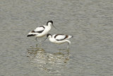 Pair-of-Avocet