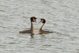 Pair-of-Grebe