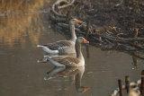 Pair-of-Greylag-Geese