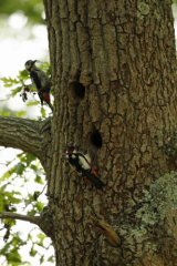 Pair-of-Woodpecker