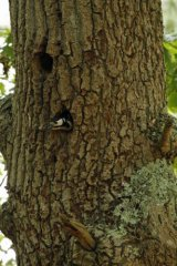 Peeking-Woodpecker