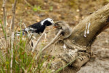 Pied-Wagtail-and-Chick