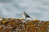 Pied-Wagtail-on-wall