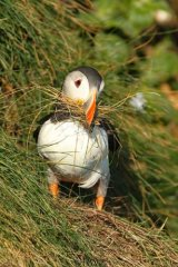 Puffin at-Bempton-Cliffs