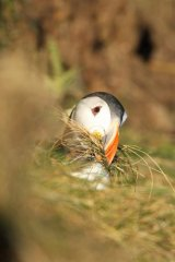 Puffin peaking out