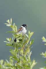 Reed-bunting-perched